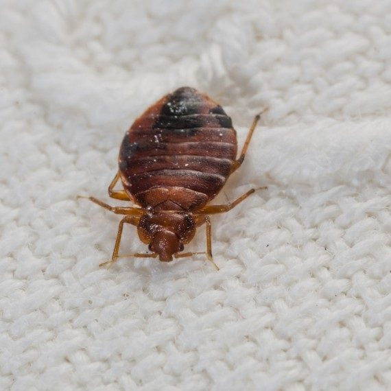Bed Bugs, Pest Control in Garston, Leavesden, WD25. Call Now! 020 8166 9746