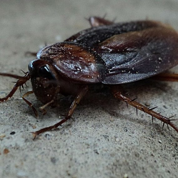 Cockroaches, Pest Control in Garston, Leavesden, WD25. Call Now! 020 8166 9746
