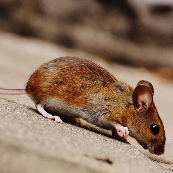 Mice, Pest Control in Garston, Leavesden, WD25. Call Now! 020 8166 9746
