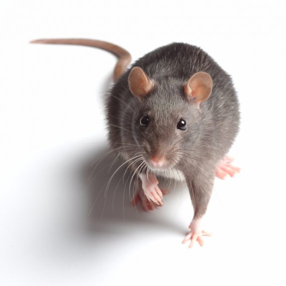 Rats, Pest Control in Garston, Leavesden, WD25. Call Now! 020 8166 9746