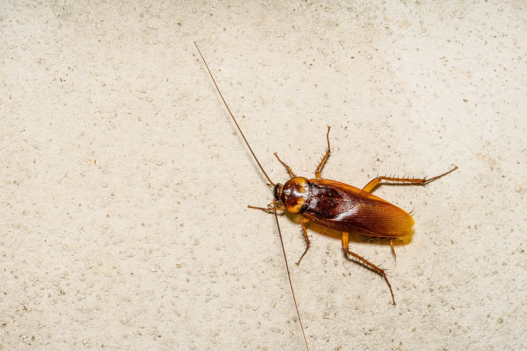 Cockroach Control, Pest Control in Garston, Leavesden, WD25. Call Now 020 8166 9746
