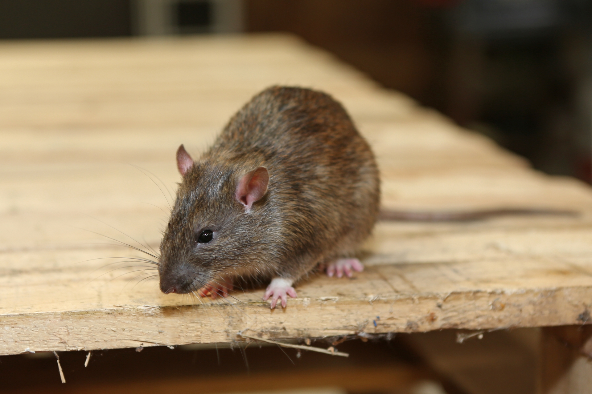 Rat Infestation, Pest Control in Garston, Leavesden, WD25. Call Now 020 8166 9746