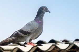 Pigeon Pest, Pest Control in Garston, Leavesden, WD25. Call Now 020 8166 9746